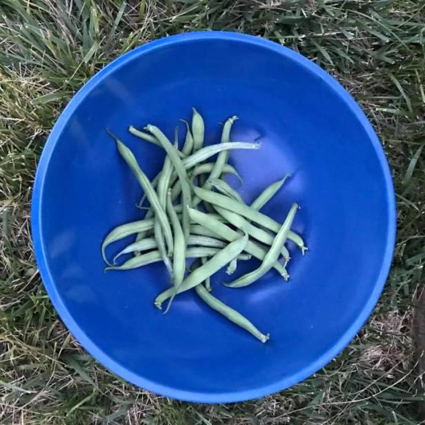 First Haul - Bush Beans